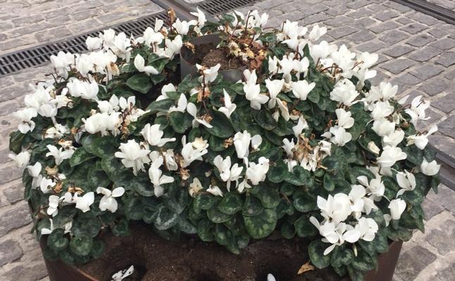 Alertan del robo de flores en el centro de Jaén
