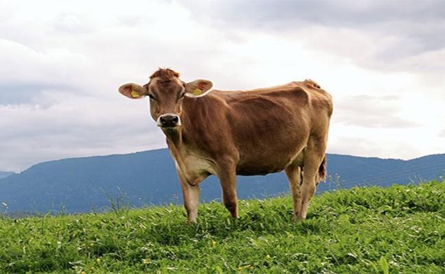 La curiosa historia de una vaca que escapó de camino al matadero