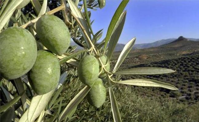 COAG calcula pérdidas de más de 400 millones en el olivar de Jaén por sequía