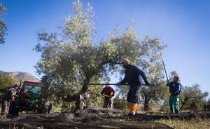 La campaña del aceite de oliva termina con más de 500.000 toneladas comercializadas