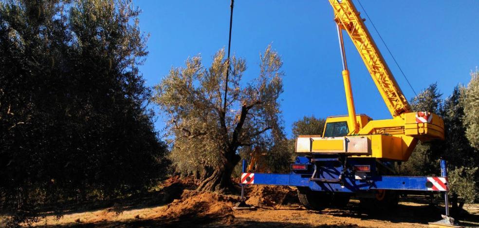 El duque de Wellington salva los olivos milenarios de Íllora