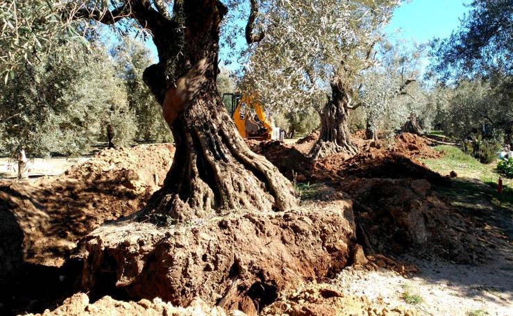 Los olivos milenarios de Íllora, salvados por el duque de Wellington