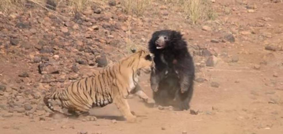 El sorprendente final de la brutal pelea entre un tigre y una osa que defendía a su cría