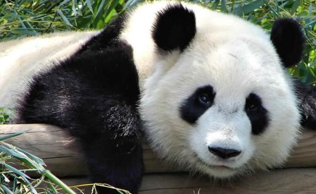 Temen por la vida del primer panda del mundo operado del estómago