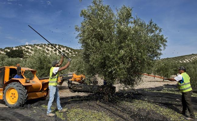 La producción de aceite en Jaén se sitúa en 381.500 toneladas