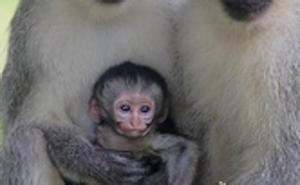 Ayudan a un mono enfermo a reencontrarse con su familia