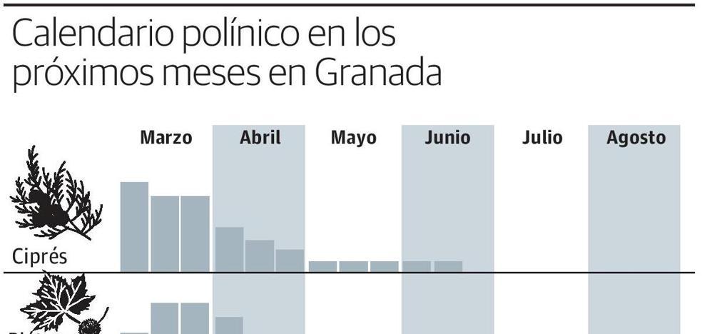 El polen del ciprés llega ya a nivel extremo en Granada y las lluvias auguran una primavera muy dura