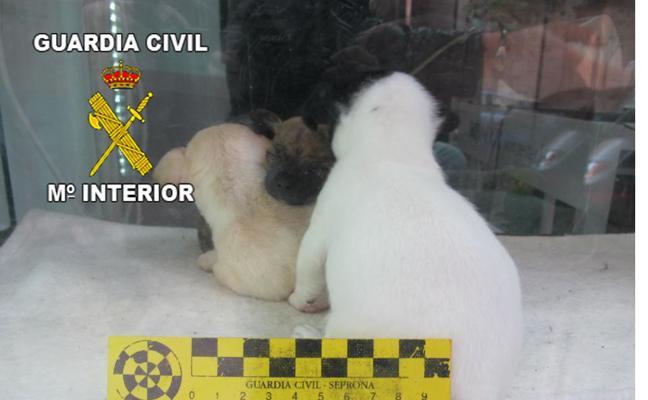 Expedientan a una tienda de animales por las malas condiciones de tres cachorros de chihuahua