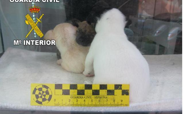 Rescatan a cachorros en una pecera al sol en una tienda 'pirata' de mascotas