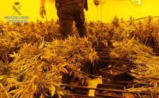 La Guardia Civil interviene en Granada casi 3.700 plantas de marihuana en las dos primeras semanas de marzo