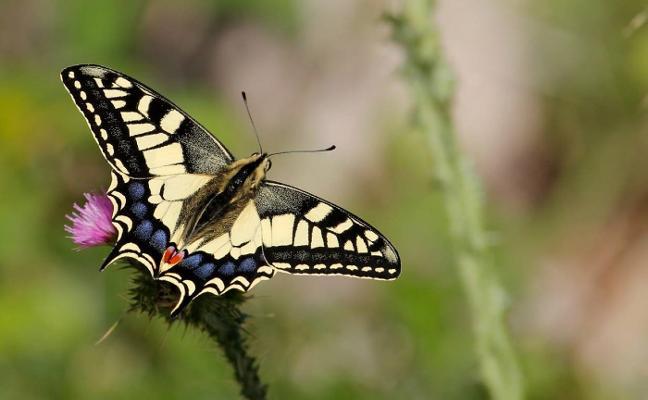 ¿Por qué las principales ciudades de España están haciendo un censo de mariposas?