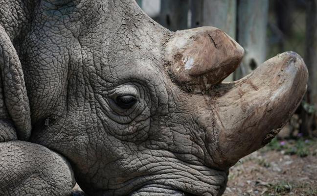 Muere Sudán, el último rinoceronte blanco macho del mundo