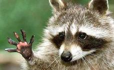 El alarmante motivo por el que los científicos piden que el mapache deje de ser mascota en España
