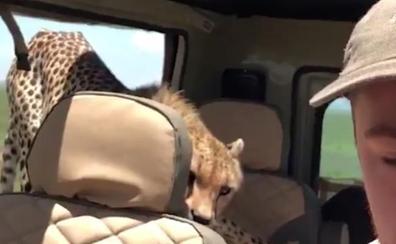 El vídeo de un guepardo colándose dentro del jeep de un turista durante un safari