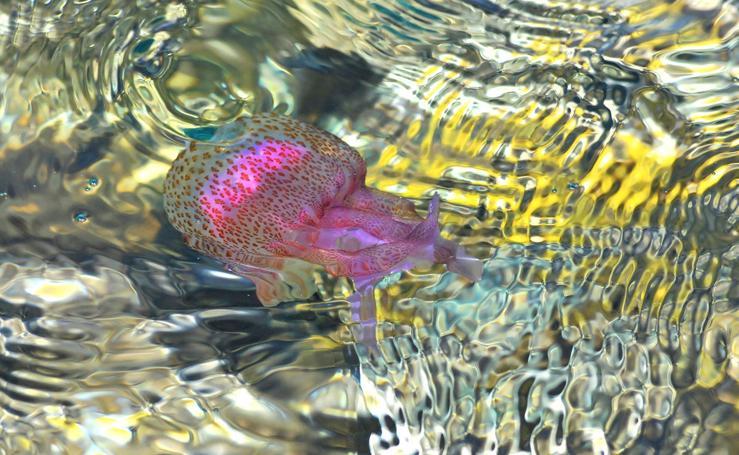 Las medusas más fáciles de encontrar en las playas de Granada