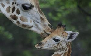 La jirafa entra en la lista de las especies en peligro de extinción