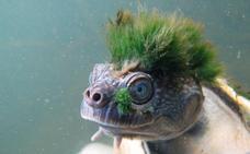 La fascinante tortuga punky que respira por sus genitales