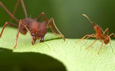 La original forma en que esta hormiga regresa a casa