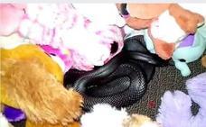 Sorpresa de infarto: una serpiente venenosa entre los peluches de su hija