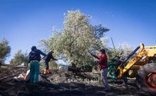 El 41% del aceite generado en Andalucía en esta campaña es de Jaén