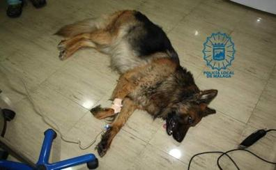 Arrastra a su perro durante 400 metros con una cuerda, le propina patadas y el animal muere tras una cirugía