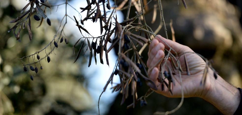 El primer brote de Xylella en Madrid dispara el temor entre los olivareros