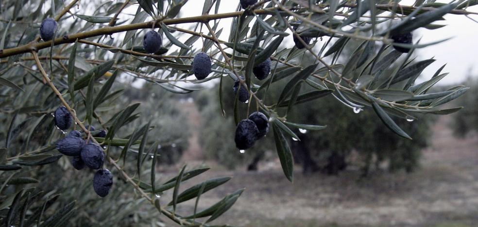 El olivar jienense ya ha recibido el agua que necesita en todo un año