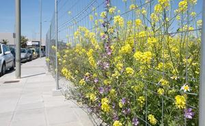 Las múltiples cualidades de los jaramagos, la flor que inunda Granada