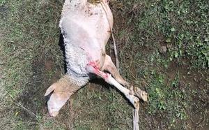COAG exige soluciones ante los «nuevos ataques de perros a la ganadería de ovino-caprino» en Jaén