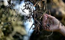 Un caso de xylella en El Ejido dispara las alarmas en la provincia de Jaén
