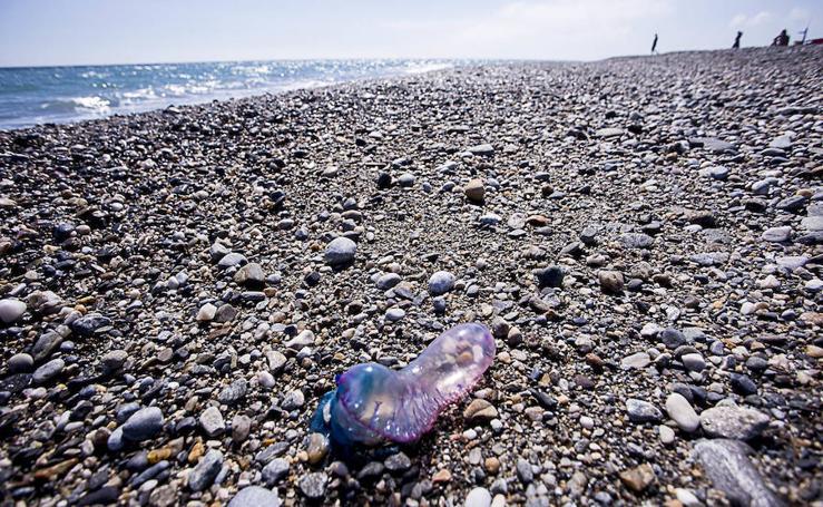 Aparecen medusas del tipo carabela portuguesa en las playas de Motril