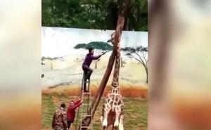 El terrible final de la jirafa que tenía la cabeza atrapada en un árbol
