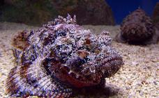Descubren al pez más venenoso del mundo