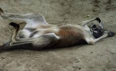 Un canguro muere en un zoo de hemorragia masiva por los ladrillazos de los visitantes