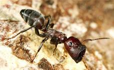 La hormiga que explota y muere al sentirse amenazada