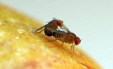 Las moscas de la fruta también disfrutan al eyacular y ahogan en alcohol las penas