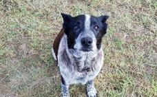 El heroico perro sordo y medio ciego que protegió a una niña de 3 años perdida en un bosque toda una noche