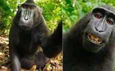 Naruto, el mono famoso por sus selfies, no podrá beneficiarse de los ingresos que generaron sus imágenes