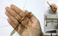11,15 centímetros: descubren el mosquito más grande del mundo