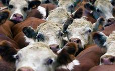 Así evitan los incendios las ovejas, cabras y vacas 'bomberas'