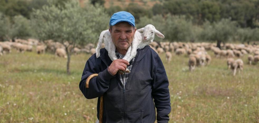 'Romero', el primer cordero que ha nacido en la Alhambra un siglo después
