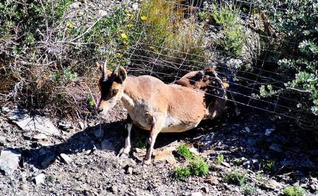 La imagen muestra la forma en la que las cabras montesas logran rebasar las alambradas