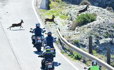 Cabras montesas 'aprenden' a 'saltarse' las vallas de las autovías