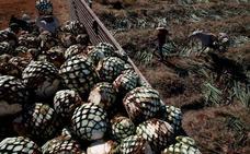 El tequila peligra: está desapareciendo la materia prima para elaborarlo