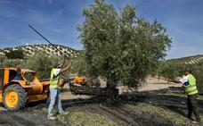 La producción del aceite de oliva baja un 23 por ciento en Jaén