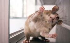 Demuestran que las ratas tienen memoria (y muy buena)