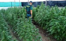 Dos detenidos de Píñar por presunto cultivo de marihuana con 1.020 plantas en Almería