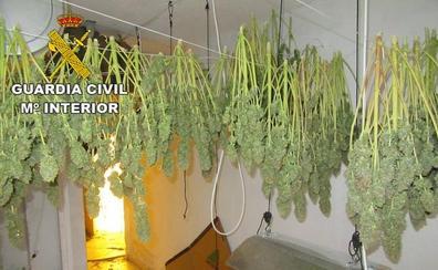 Intervienen más de 2.700 plantas de marihuana en un solo día en la provincia de Granada