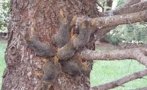 La insólita liberación de seis ardillas enredadas con sus colas