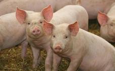 Alertan de un virus en el cerdo que puede resultar mortal para el ser humano